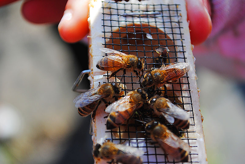 The bees arrive to their new home