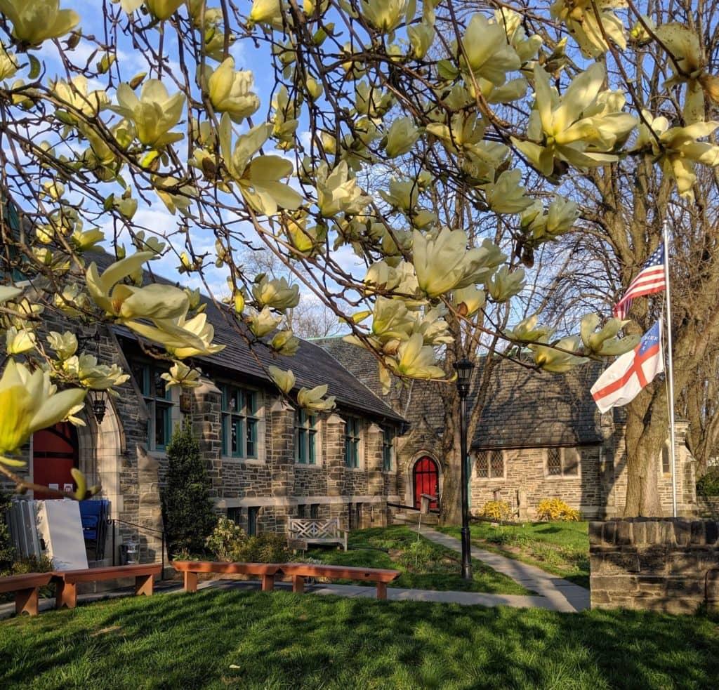 photo of magnolia tree in bloom on St. James School campus